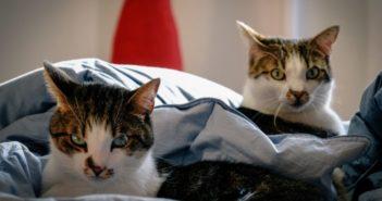Un estudio informa de la transmisión del coronavirus entre gatos en condiciones de laboratorio