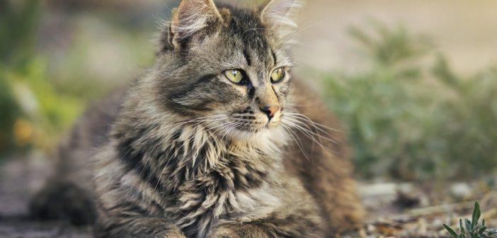 La lipidosis hepática felina
