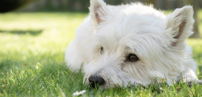 Funciones del ATV en el diagnóstico de la dermatitis atópica canina (II)