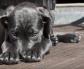 La parvovirosis canina (I)