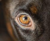 Thelaziosis ocular: una enfermedad cada vez más extendida