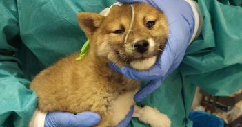 La parvovirosis canina (II): tratamiento