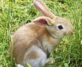Reino Unido lanza el primer código de buenas prácticas para el bienestar de los conejos